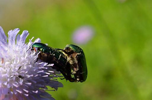 Rose Beetle, Beetle, Pairing, Reproduction, Green