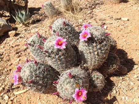 Cactus, Cacti, Pincushion, Pink, Flower, Thorns, Spike