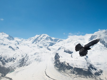 Chough, Jackdaw, Bergdohle, Bird, Switzerland, Valais