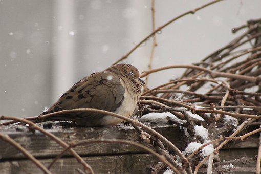 Bird, Branches, Snow, Fence, Dove, Pigeon, Fluffy