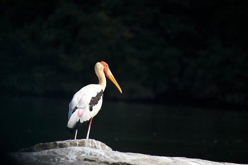 Painted Stork, Wild, Bird, Wildlife, Long-necked