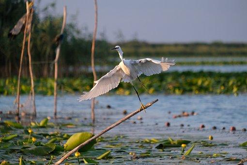 Little Egret, Birdwatching, Danube Delta, Romania