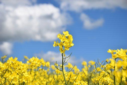 Rapeseed, Flowers, Field, Yellow Flowers, Bloom