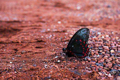 Pink-spotted Cattleheart, Butterfly, Ground, Soil
