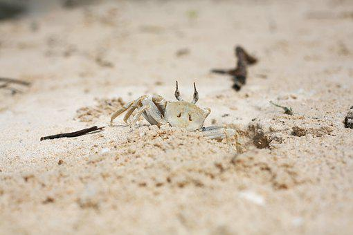 Crab, Sand, Beach, Coast, Crustacean, Animal, Shore
