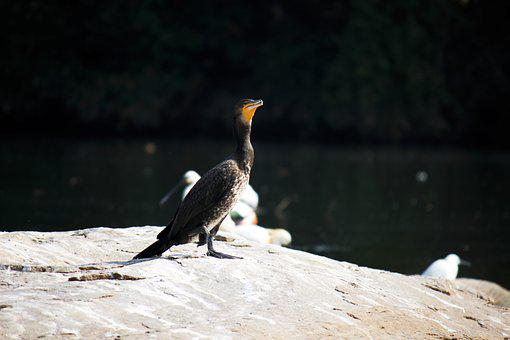 Cormorant, Wild, Bird, Feathers, Natural, Wings