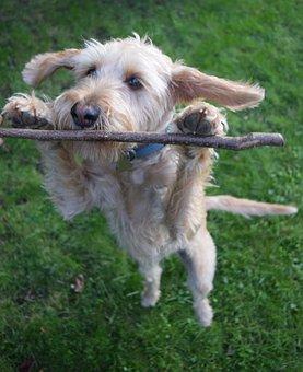 Dog, Griffon, Dog Sitting, Nature, Animal, Pet, Cute