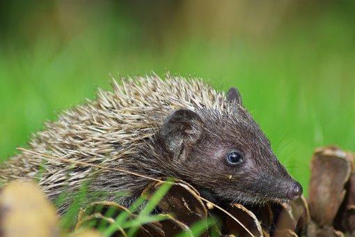 Hedgehog, Animal, Garden, Spiny, Mammal, Pet, Cute