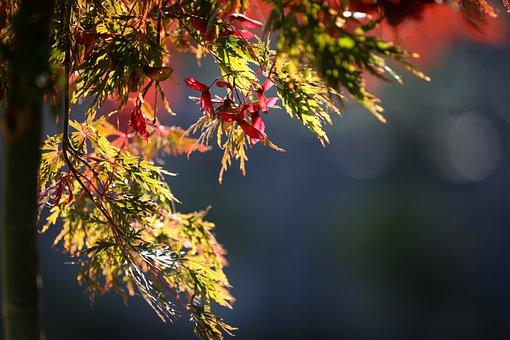 Leaves, Foliage, Maple, Maple Leaves