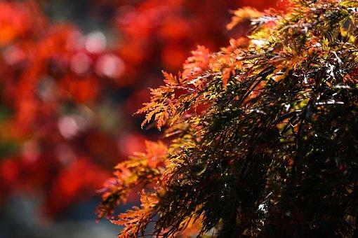 Maple, Maple Leaf, Autumn, Nature