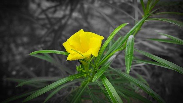 Oleander, Yellow, Effect