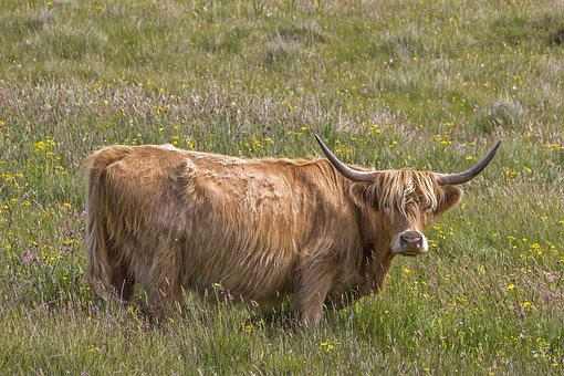 Hairycoo, Cow, Livestock, Pasture, Meadow, Animal