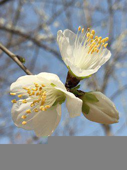 Flowers, Branch, Tree, Bud, Bloom, Blossom, Plant