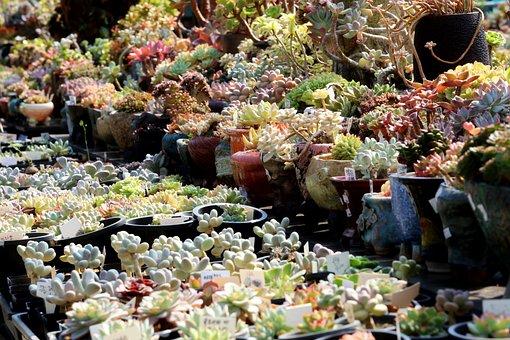 Succulents, Plants, Plant Pots, Houseleeks, Sempervivum