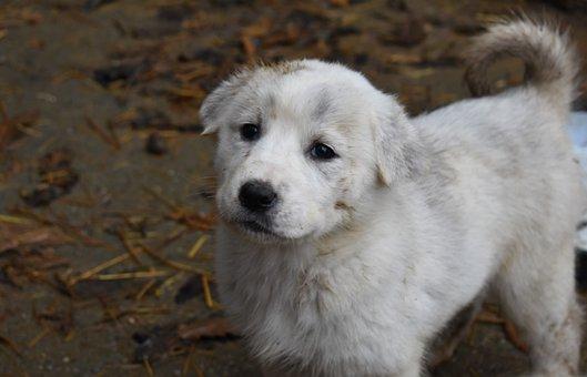 Alabai, Puppy, Dog, Cute, Animal, Pet, Darling, Pup