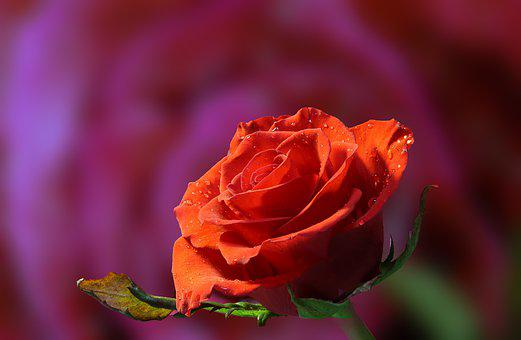 Rose, Flower, Dew, Dewdrops, Dropletes, Petals