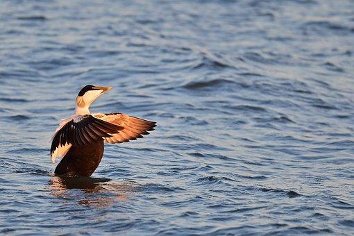 Eider, Sea-diving Duck, North Sea, Somateria Mollissima