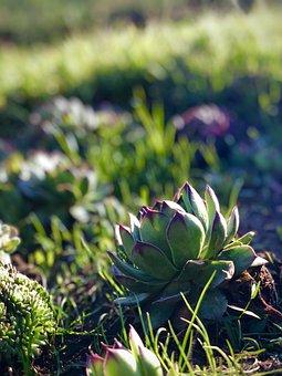 Succulent, Plants, Grass, Flora, Ground, Garden, Nature