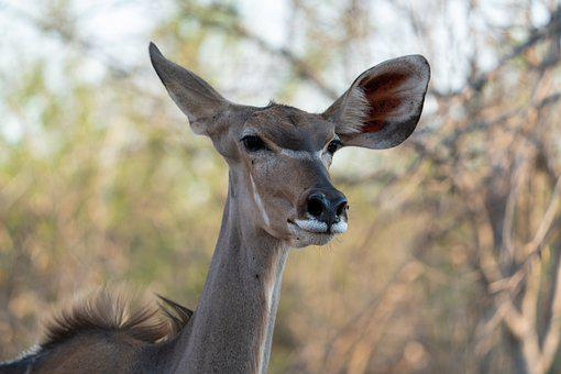 Kudu, Animal, Safari, Portrait, Female Kudu, Mammal