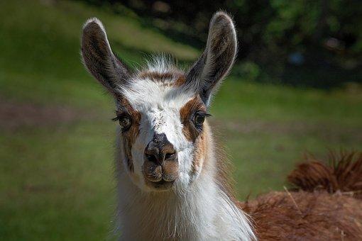 Lama, Alpaca, Spotted, Patched, Head, Bi Color