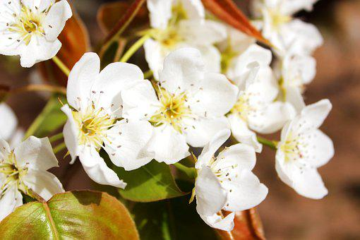 Pear Flowers, Pear Blossoms, White Flowers, Blossom