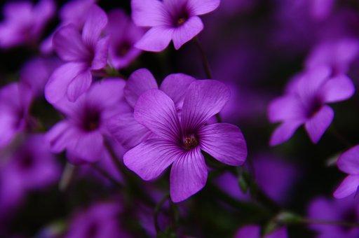 Pink Sorrel, Flowers, Plants, Bloom, Blossom, Flora