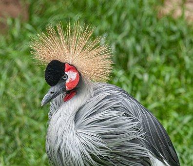 Gray Crowned Crane, Bird, Animal, Portrait
