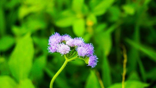 Bluemink, Flowers, Plant, Purple Flowers, Bloom