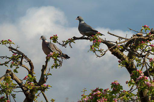 Pigeons, Doves, Branches, Perched, Collared Doves