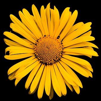 Daisy, Flower, Plant, Petals, Yellow Flower, Bloom