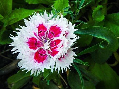 Flower, Carnation, Dianthus, Bloom, Petals, Blossom