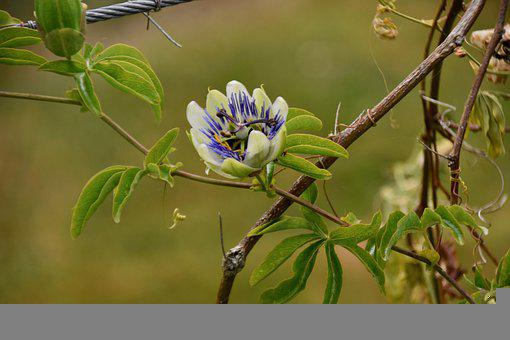 Passion Flower, Medicinal Flower, Leaves, Blooming