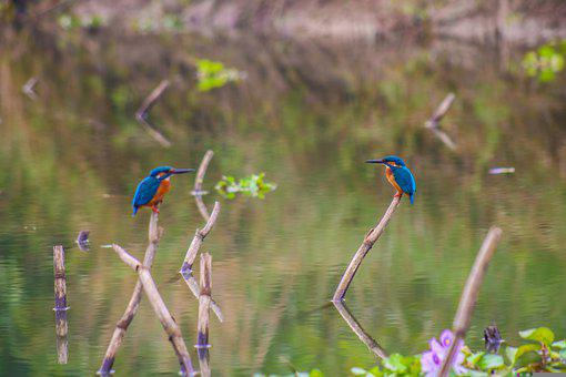 Kingfishers, Birds, Pair, Perched, Perched Birds, Ave