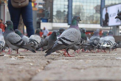 Pigeon, Bird, Dove, Animal, Nature, Feathers, Icon