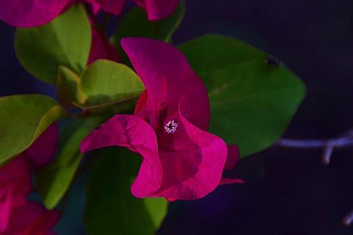 Bougainvillia, Purple, Blossom, Bloom, Pink, Close Up