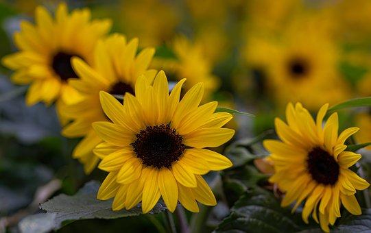 Yellow, Petals, Sunflower, Nature, Bloom, Spring
