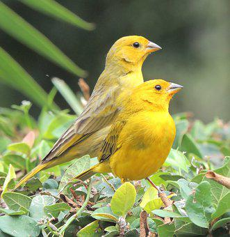 Birds, Pair, Perched, Yellow Birds, Yellow Feathers