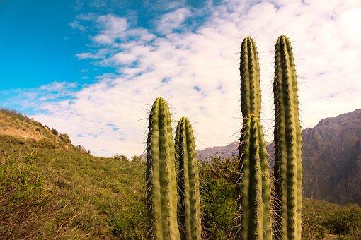 Cactus, Desert, Plant, Succulent, Landscape, Botanical