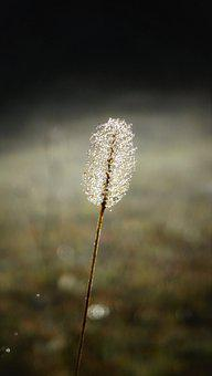 Hare Tail Grass, Grass, Dew, Morning Dew, Dewdrops