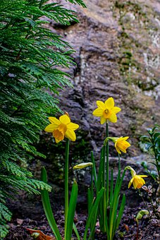 Daffodils, Flowers, Blooming, Blossoming, Flora