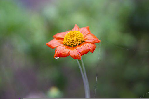 Mexican Sunflower, Flower, Plant, Wet