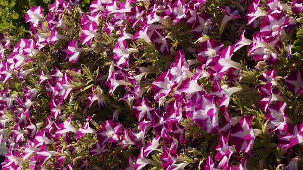 Flowers, Bicolored Flowers, Blossom, Bloom