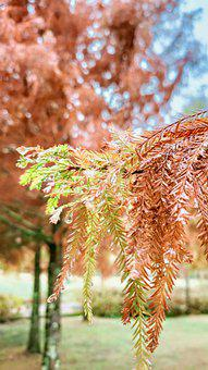Trees, Leaves, Forest, Woods, Plant, Taxodium Pine