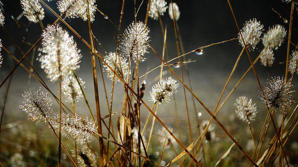 Hare Tail Grasses, Grasses, Dew, Morning Dew, Dewdrops