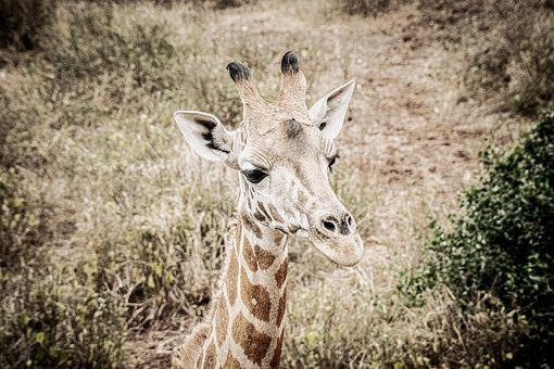 Giraffe, Head, Ossicone, Long Neck, Giraffe Head