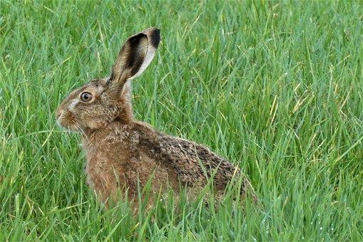 Hare, Animal, Field, Brown Hare, European Hare, Mammal