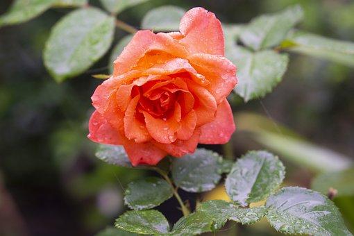 Rose, Flower, Dewdrops, Dew, Morning Dew, Leaves
