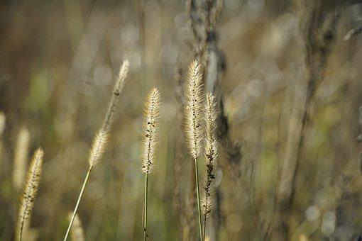 Fountain Grass, Plant, Meadow, Grass