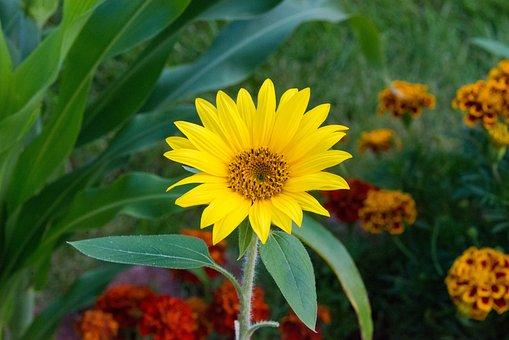 Perennial Sunflower, Flower, Plant, Petals