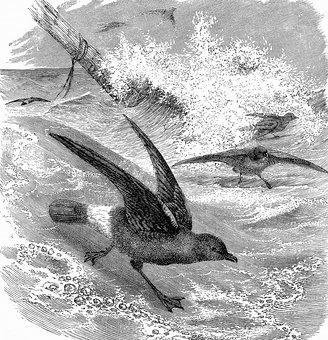 Storm Petrel, Seabirds, Ocean, Flying, Wings, Storm